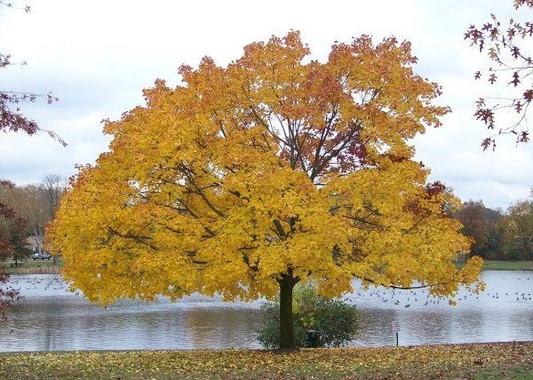 how to grow a mustard tree
